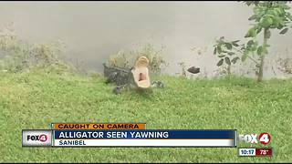 Alligator caught yawning - Video