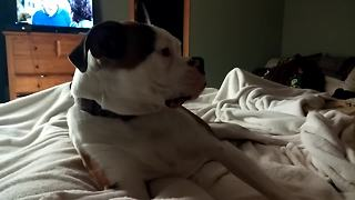 Boxer dog severely protests bedtime