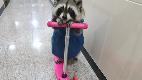 Pet raccoon wearing a dress rides a scooter