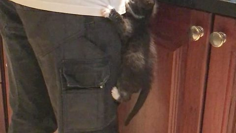 Adorable footage of a clingy kitten desperate from attention from her owner