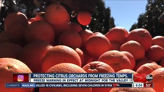 Protecting citrus trees from freezing temperatures