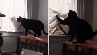 Confused Cat Doesn't Understand Silhouette Behind Curtains Before Moggy Attacks Him