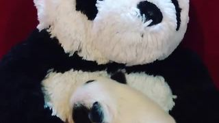 Tiny newborn puppy cuddles stuffed panda