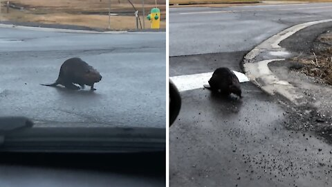 Adorable moment beaver caught crossing the road