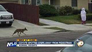 Coyote spotted steps away from pedestrian - Video