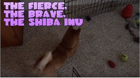 Shiba Inu Has Intense Standoff With Moving Toy