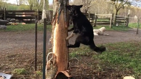 Border Collie tries to climb tree