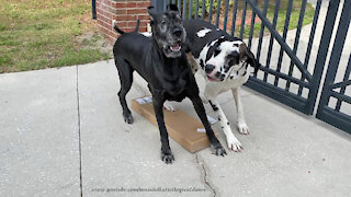 Funny Great Danes Dig It When Box Of Blinds Is Delivered