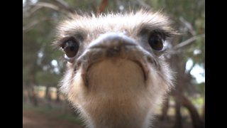 Cranky Ostrich Gives Camera a Peck