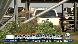Florida's largest dairy cooperative to announce new practices after allegations of cow abuse - Video