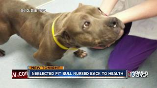 Starved pit bull serves new purpose in life helping veteran - Video