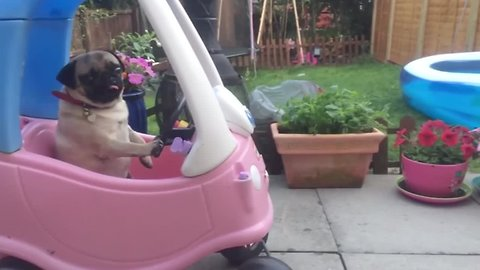 Funny Compilation Of Very Cool Pugs