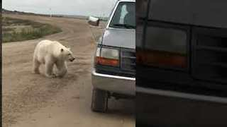 Curious Polar Bear Playfully Interacts With Its Reflection in Car Bumper
