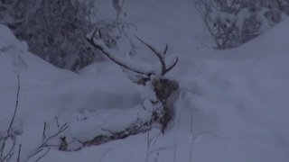 Tenacious deer dig through snow in search of food during violent blizzard