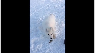 Brave Arctic Fox Keeps Coming For Fish Treats - Video