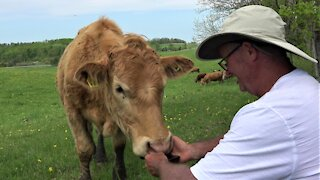 Cow disapproves of song on man's phone, changes it to something better