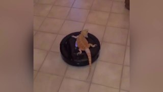 A Bearded Dragon Lizard Rides On A Roomba Vacuum