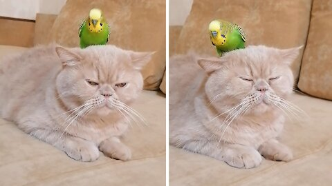Cat shockingly lets parrot sit on top of her head
