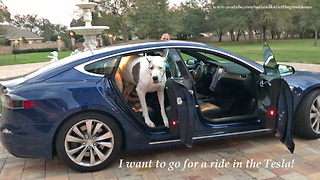 Huge Great Dane Sneaks Into Telsa D90  - Video