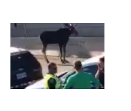 Moose Euthanized After Wandering Onto Ottawa Highway During Rush Hour
