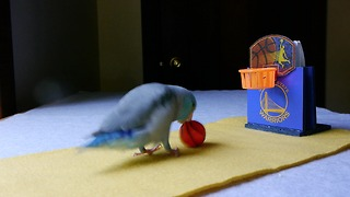 Athletic parrotlet dominates slam dunk competition - Video