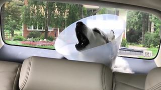 Husky Howls In Protest While Recovering From Anesthesia  - Video