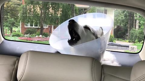 Husky Howls In Protest While Recovering From Anesthesia