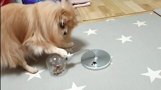 Pomeranian use their front paws well to eat snacks