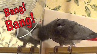 Frustrated parrot bangs head on mirror - Video