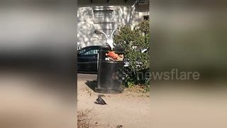 Hungry seagull can't stop slipping on bin