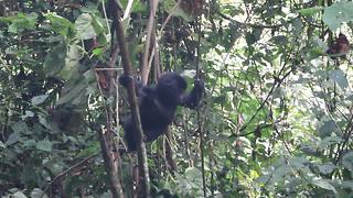 US tourist captures moment baby gorilla falls out of tree