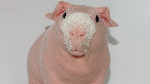 Meet The Bald And Beautiful Skinny Pig
