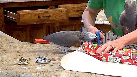 Helpful parrot lends a beak to wrap holiday gifts