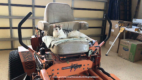 Chatty Cat Sharpens Her Claws Sitting On Turf Tiger Lawn Mower