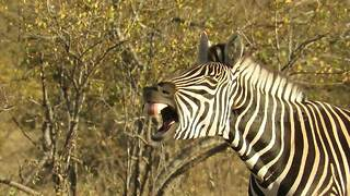 Sleepy zebra makes hilarious faces - Video
