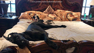 Tired Great Dane & puppy snuggle up on the bed