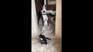 Great Dane delivers newspaper to showering cat - Video