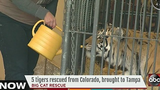 5 tigers rescued from Colorado, brought to Tampa - Video