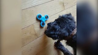 Dog Vs. Fidget Spinner