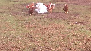 Farm dog hangs out in field with chickens