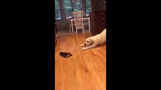 Adorable yellow Lab confused by lobster encounter - Video