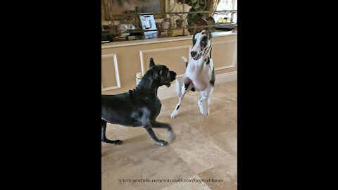 Bouncing Boxing Great Danes Can't Wait To Go For A Car Ride