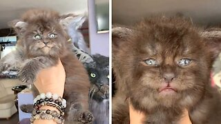 Fluffy Maine Coon Kittens Look Like Tiny Werewolves