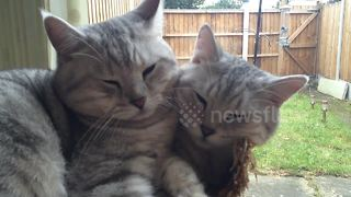 Kittens Snuggling Up Together Look Like A Cat With Two Heads - Video