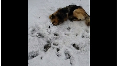 German Shepherd's odd method of playing in snow