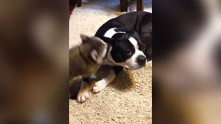 Baby Raccoon Cleans Dog Ear