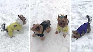 Yorkie plays with snowballs like they're real toys