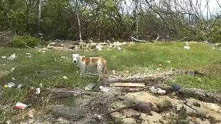 Stray puppy looks for food in hurricane debris in Nassau - Video