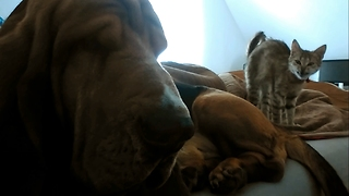 "Hilarious morning ""conversation"" of one dog basset hound  - Video"