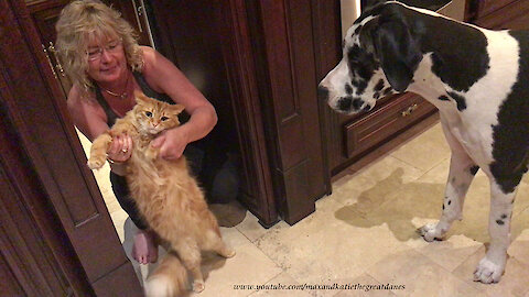 Patient Cat Puts Up With Nosy Great Dane Dancing and Air Guitar